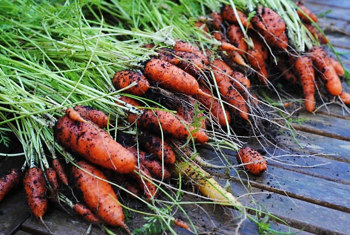 A large pile of carrots that have just been dug up