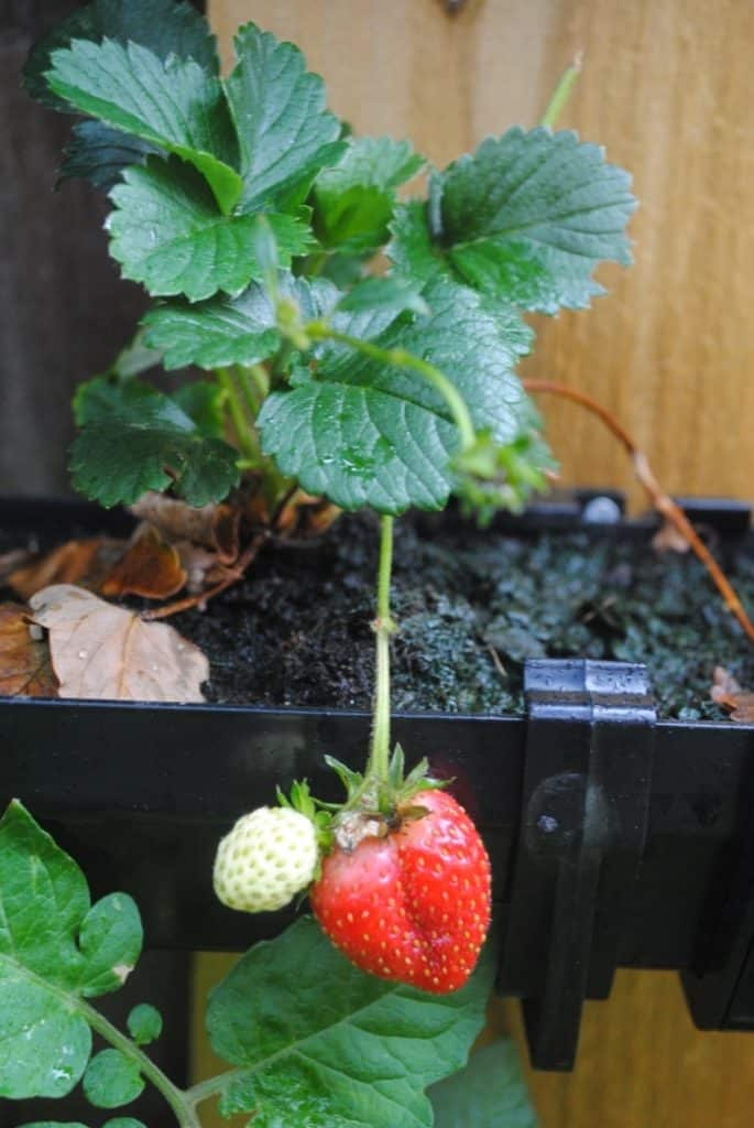 DIY Strawberry Guttering 7