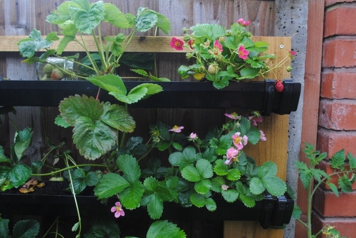 DIY Strawberry Guttering 8