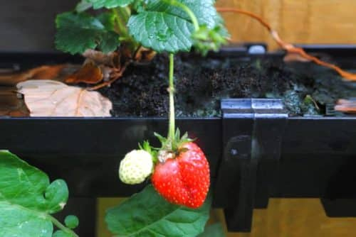 A strawberry hanging from a plant that is growing in a gutter